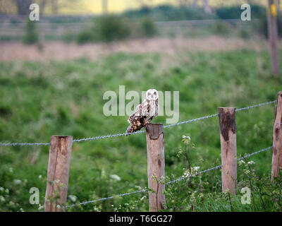 Harty, Kent, Großbritannien. Mai, 2019. UK Wetter: ein sheppey Kurz-earred Eule sitzt auf einem Post an einem nebligen Abend in Harty, Kent. Credit: James Bell/Alamy leben Nachrichten - Stockfoto