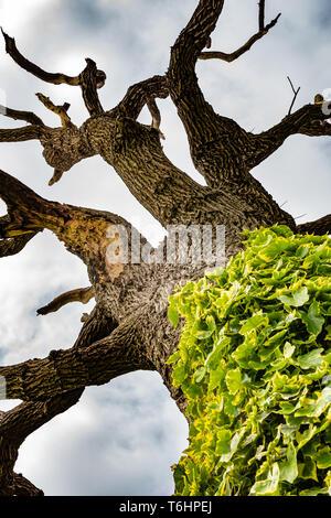 Farbfoto des Toten faulenden Baum mit Ivy auf den unteren Stamm, unter Baum, suchen gerade nach oben. - Stockfoto