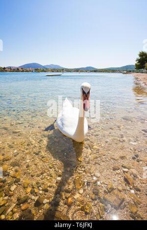 Neuruppin, Sibenik-Knin, Kroatien, Europa - eine junge Neugierige Schwan auf der Suche - Stockfoto