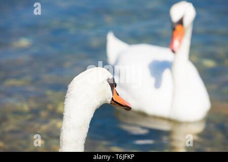 Neuruppin, Sibenik-Knin, Kroatien, Europa - ein Schwan cob auf einer Swan pen suchen - Stockfoto