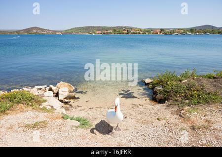 Neuruppin, Sibenik-Knin, Kroatien, Europa - ein Schwan als gate keeper - Stockfoto