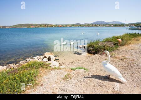 Neuruppin, Sibenik-Knin, Kroatien, Europa - ein Schwan cob für seine Familie am Strand warten - Stockfoto