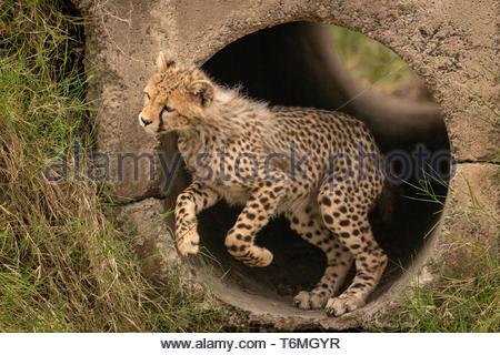 Cheetah cub heraus springen von konkrete Leitung - Stockfoto