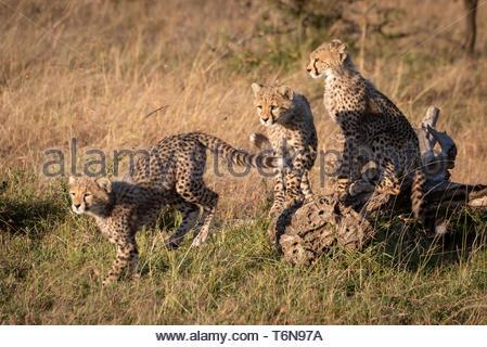 Cheetah cub Springen von anderen auf Log - Stockfoto