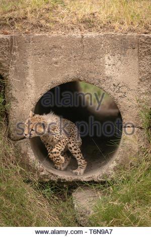 Cheetah cub über vom Rohr zu springen - Stockfoto