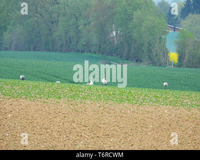 Eine Gruppe von Kranen auf der Suche nach Essen auf einem gepflügten Feldes - Stockfoto