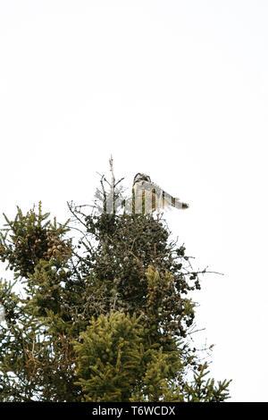 Ansicht von unten der Northern Hawk Owl auf einem Pine Tree - Stockfoto