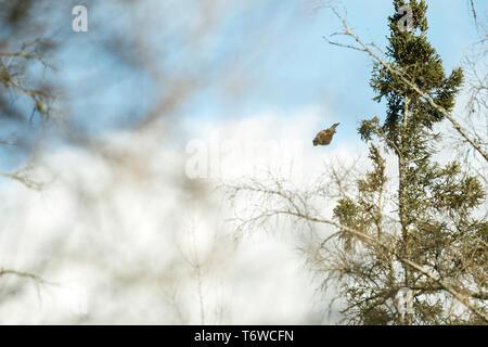 Seitenansicht eines Northern Hawk Owl (Surnia Ulula) tauchen Beute zu fangen - Stockfoto