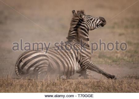 Ebenen zebra liegen auf Grünland in Staub - Stockfoto