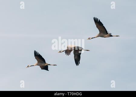 Flying Herde Kranich, Hortobagy Ungarn