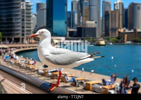 Porträt einer Taube neben den Bars und Restaurants an der Promenade Circular Quay der Harbour Bridge in Sydney, Australien - Stockfoto