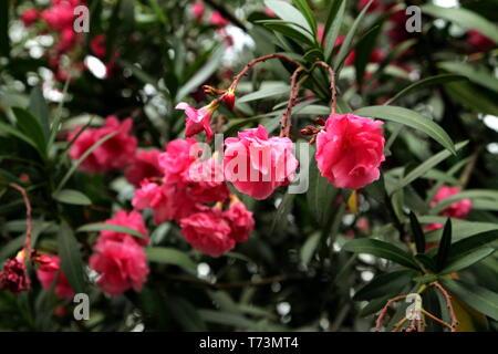 Nerium-Oleander. Rosea Plena. - Stockfoto