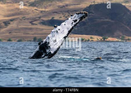 Buckelwale (Megaptera novaeangliae) Brustflosse, Lahaina, Maui, Hawaii, Vereinigte Staaten von Amerika - Stockfoto