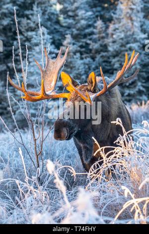 Reifen bull Elch (Alces alces) Ernährung im frühen Morgen Raureif in South Anchorage, South-central Alaska; Alaska, Vereinigte Staaten von Amerika - Stockfoto