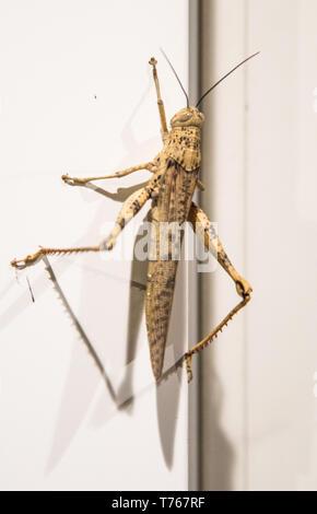 Massive grasshopper klettern Außenwand in Darwin, Australien - Stockfoto