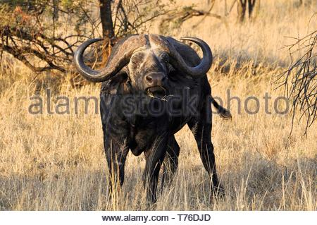 Afrikanische Büffel im Park - Stockfoto