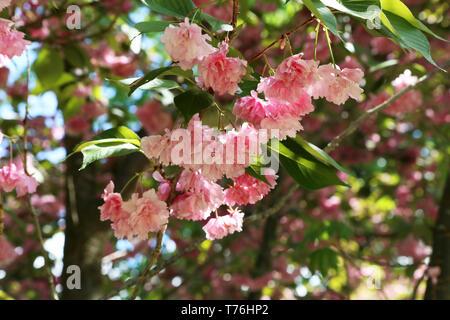 Blühende Japanische Kirsche im Stadtpark im Frühjahr - Stockfoto