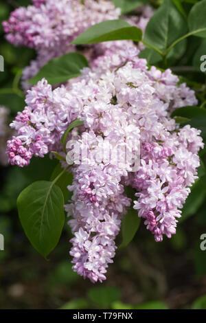 Syringa vulgaris 'Madame Antoine Buchner 'Blumen. - Stockfoto