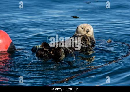 Seeotter (Enhydra lutris) selbst Streicher und verknoten sich von Abdriften zu verhindern, Monterey Bay, Kalifornien - Stockfoto