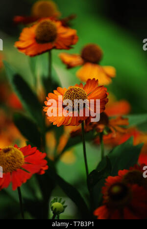 Nahaufnahme Foto von Rudbeckia hirta, gelbe Blume orange coneflower oder Rudbeckia. - Stockfoto