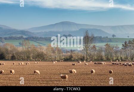 Herde Schafe auf kahlen Feld mit einer malerischen Hügellandschaft in bacground. Herefordshire in Vereinigtes Königreich - Stockfoto