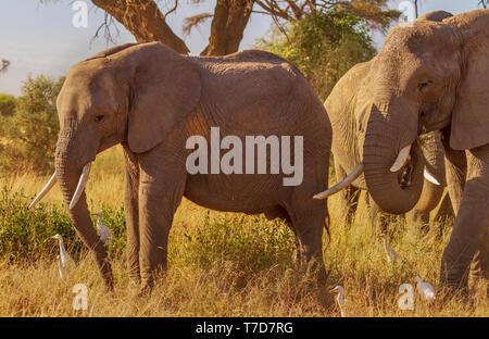 Smiling Happy Elefanten mit Stoßzähnen im warmen Sonnenschein Loxodonta Africana Safari reisen Amboseli National Park Kenia Ostafrika - Stockfoto