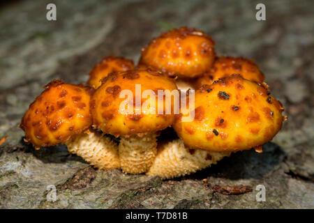 Klebrig (Pholiota pholiota aurivella), - Stockfoto