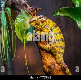 Nahaufnahme von einem grün-schwarz gebänderte panther Chamäleon, bunten tropischen Eidechse aus Madagaskar, beliebten exotischen und bunten pet - Stockfoto