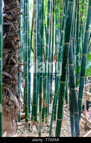 Grüner Bambus Wald in Marokko