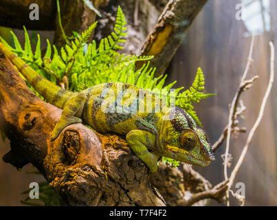 Panther Chamäleon sitzt auf einem Ast, beliebte tropischen Reptil pet aus Madagaskar - Stockfoto