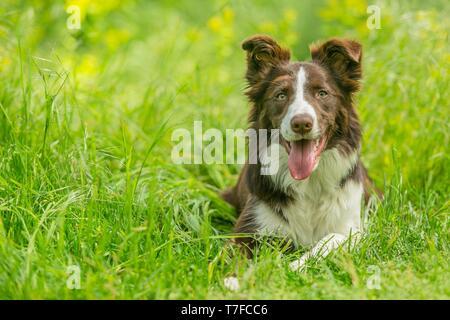 Gerne braunen und weißen Border Collie Hund mit Zunge heraus haften liegend im Gras mit gelben Blüten. Tag Sommer auf einer Wiese. - Stockfoto
