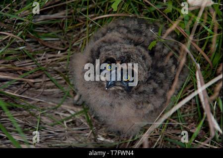 Eine flauschige Küken Sumpfohreule (Asio Flammeus) hinibg im Gras in der Nähe ihr Nest in Finnland. - Stockfoto