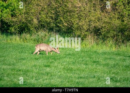 Ein junger Hirsch läuft über eine grüne Wiese und frisst Gras - Stockfoto