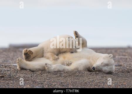 Usa, Alaska, Arctic National Wildlife Refuge, Kaktovik, Eisbär (Ursus maritimus), der Mutter mit einem Cub, zusammen eine Sperre Insel außerhalb Kaktovik, Alaska ruht. Jeden Herbst, Eisbären (Ursus maritimus) versammeln sich in der Nähe von kaktovik am nördlichen Rand der ANWR, Arktische Alaska, Herbst - Stockfoto