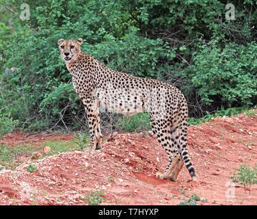 Gepard (Acinonyx jubatus) auf der Suche - Stockfoto