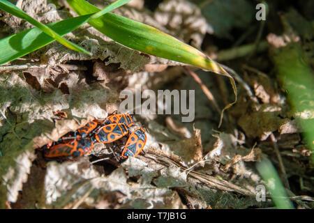 Einige Feuer Bugs im Gras unter Laub verbergen - Stockfoto