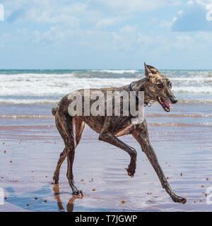 Lurcher Hund am Strand im Meer - Stockfoto