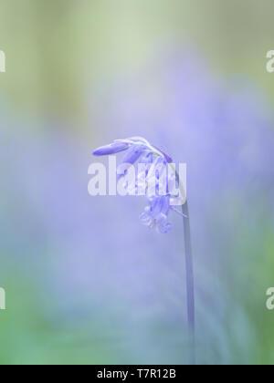 Wilden Glockenblumen in einem Englischen bluebell Wood. - Stockfoto