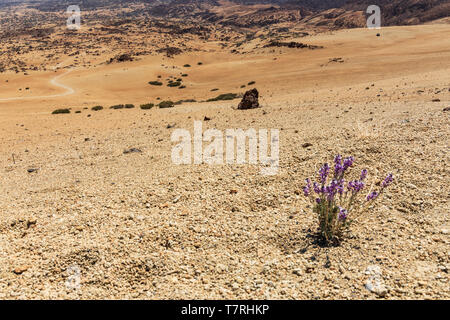 Erysimum scoparium, Alheli del Teide, Kanarische Mauerblümchen, Montaña Blanca, Las Cañadas del Teide, Teneriffa, Kanarische Inseln, Spanien - Stockfoto