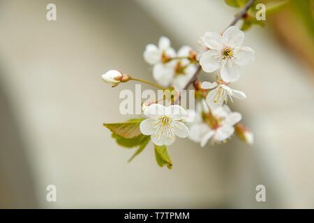 Anfang Mai im Garten blühen weißen Blumen der Kirsche. Textur oder Hintergrund. - Stockfoto