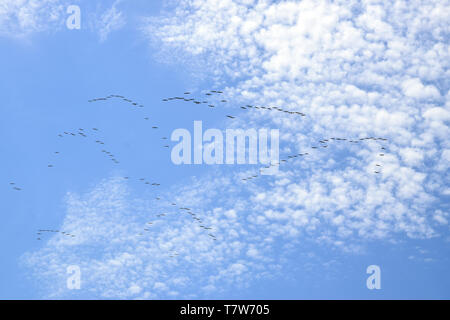 Eine Herde von Great White Pelican fliegen in V-Formation gegen den Himmel. Donau Biosphärenreservat - Donaudelta, Rumänien. - Stockfoto