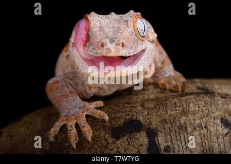 Der Gargoyle Gecko (Rhacodactylus auriculatus) ist eine mittelgroße, gefährdete, gecko Arten endemisch in Neukaledonien. - Stockfoto