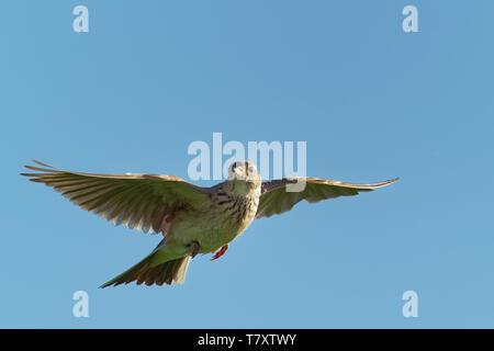Sky Lerche (Alauda arvensis) Fliegen über dem Feld mit braunen und blauen backgrond. Braune Vogel im Flug gefangen. - Stockfoto