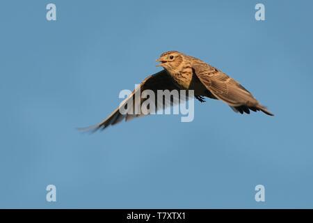 Sky Lerche (Alauda arvensis) Fliegen über dem Feld mit braunen und blauen backgrond. Braune Vogel im Flug am Abend die Sonne erleuchtet erfasst. - Stockfoto