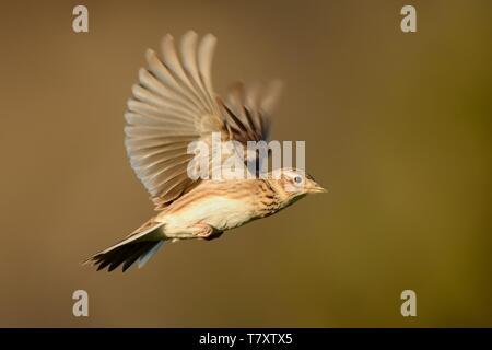 Sky Lerche (Alauda arvensis) Fliegen über dem Feld mit braunen backgrond. Braune Vogel im Flug am Abend die Sonne erleuchtet erfasst. - Stockfoto