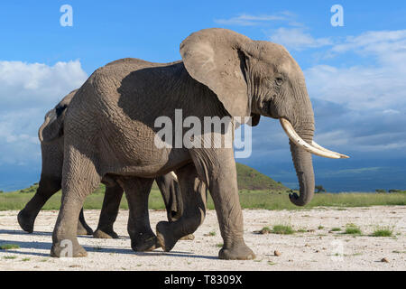 Afrikanischer Elefant (Loxodonta africana) Stier zu Fuß auf Savanne, Amboseli National Park, Kenia. - Stockfoto