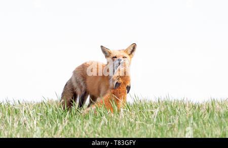 Der Rotfuchs Vulpes vulpes und Ihr Kit ein bewegender Moment auf einem grasbewachsenen Hügel im Frühjahr in Kanada - Stockfoto