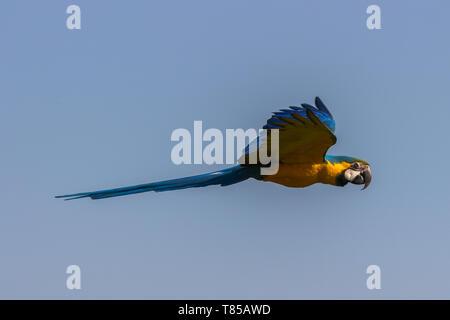 Blau-gelbe Ara (Ara ararauna) Manchmal bekannt als der Blau und Gold Ara. - Stockfoto