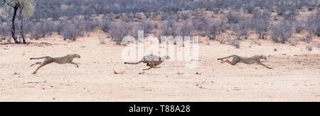 Das zusammengesetzte Bild eines erwachsenen weiblichen Geparden (Acinonyx jubatus jubatus) sprinten nach Springbok in der Kalahari - Stockfoto