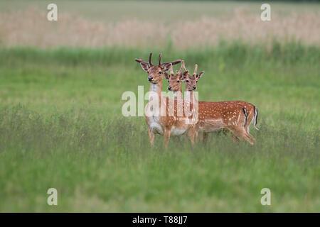 Drei Damwild, Dama Dama, Hirsche im Sommer mit wachsende Geweih mit Samt überzogen. Herde der männlichen Tiere stehen auf einer grünen frische Mead - Stockfoto